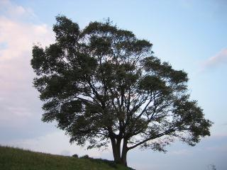 鈴鹿川の堤防の木