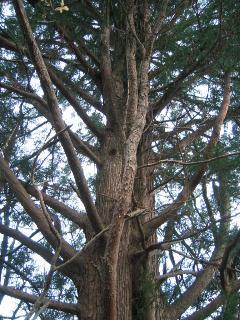 大きな古杉
