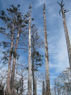 立ち枯れの高木