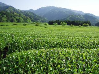 茶畑と野登山