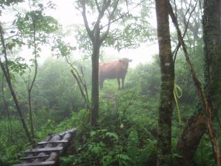 威嚇の声を挙げる牛