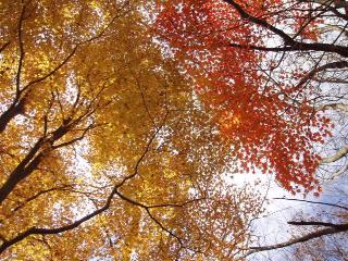 落葉樹の紅葉
