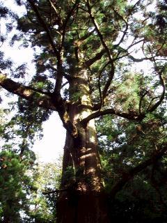矢頭の大杉